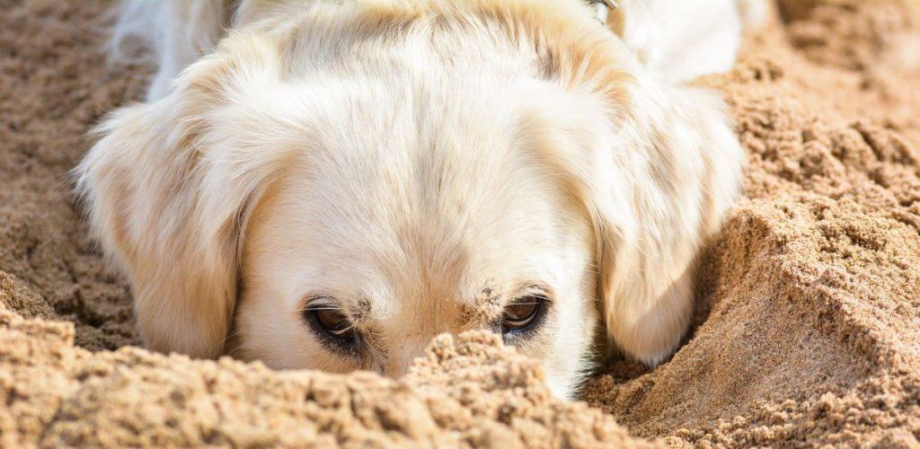 dog sticking nose into sand